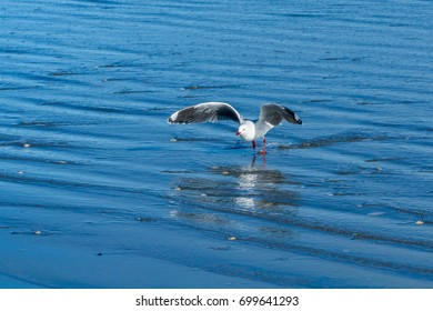 Red Billed Gull Taking Off
