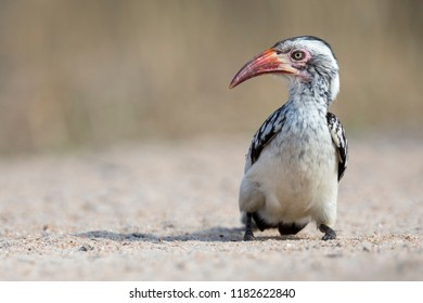 Red Billed Hornbill sitting on the ground looking for crumbs to eat