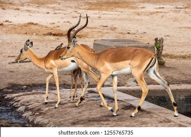 A Red Billed Ox pecker sitting on the back on an Impala at a waterhole