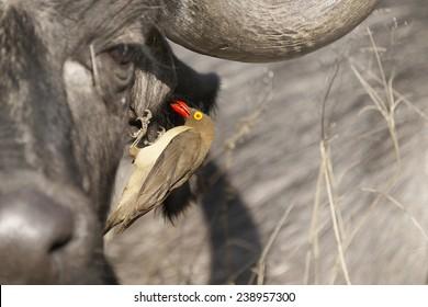 Red Billed Ox-pecker in Buffalo Ear