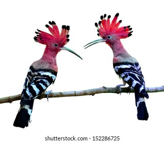 Red bird, Common Hoopoe or Eurasian Hoopoe with spiky hairs and great details of feathers on the same branch