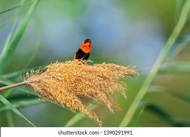 Red Bishop Bird, Southern Red Bishop, (Euplectes orix) wandering in the farm land - Bahrain
