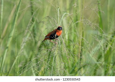 The Red Bishop, Euplectes orix is sitting on the grass and eating some seeds. It is flying red gem of Uganda, green backround