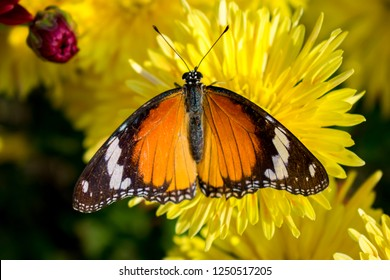 Red Black butterfly on Guldaudi Flower Chrysanthemum