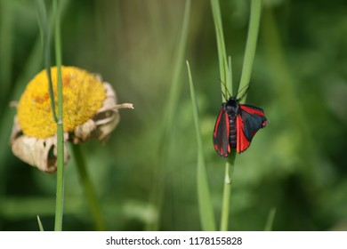 A red and black butterfly resting on a blade of grass.