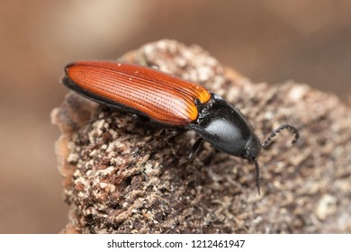 Red and black click beetle Ampedus pomorum