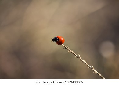 Red and Black Coccinellidae on Sunset