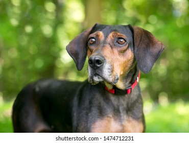A red and black Hound mixed breed dog wearing a red collar outdoors