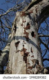 Red and black seed bugs from genus Lygaeus on the bark of the tree in Vojvodina