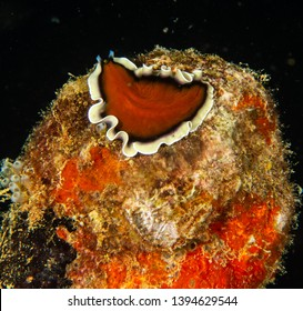 Red, Black and White Flatworm - Palau
