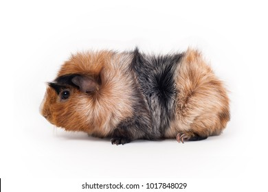 Red, black and white guinea pig of Abyssinian breed rare color on white background sits in profile