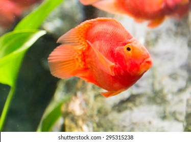 Red Blood Parrot Fish In Thailand