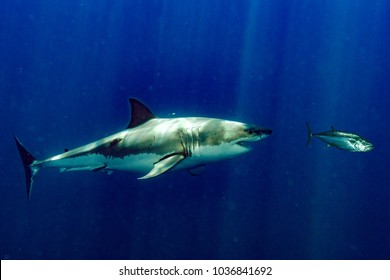 red blood in water Great White shark attack while coming to you from deep ocean