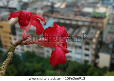 c9f6d59d434f Red bloom Adenium Desert rose flowers on top of the building with blur  background after rain
