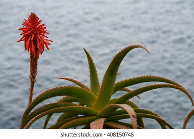 red bloom of an aloe vera at the sea