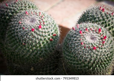 Red blooming cactus.