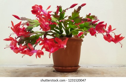 Red blooming christmas cactus (Zygocactus Schlumbergera) in the brown plastic pot on the light wall background