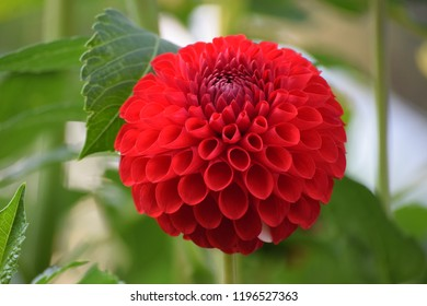 Red Blooming Dahlia