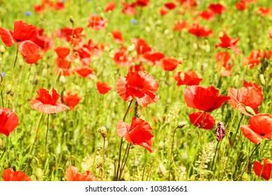 red blooming poppy flowers field