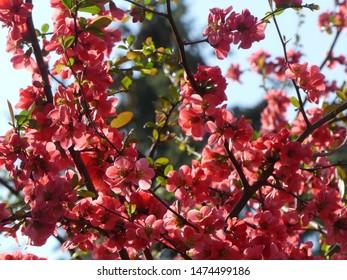 red blooming tree in springtime