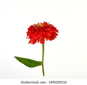 red blooming zinnia bud on a green stem with a leaf on a white background, close up