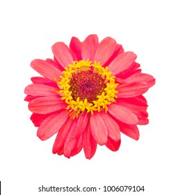 Red blossom gerbera isolated on white background