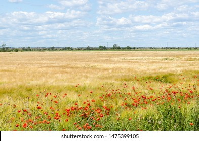 Red blossom poppies in a farmers field in the World Heritage  Agricultural Landscape of Southern Oland in Sweden