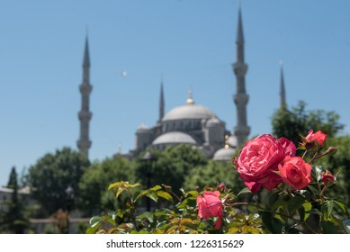 Red blossoming rose with Sultan Ahmed mosque silhouette on the background