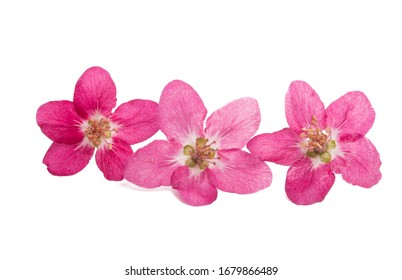 red blossoms of apple tree isolated on white background