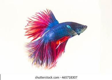 red blue betta fish isolated on white background