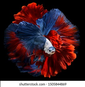 Red and blue Betta Saimese fighting fish  with flutter waver fins swimming in black background photo with studio flash lighting.