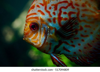 Red and blue discus fish.