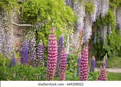 Red and Blue Lupins growing in an old walled garden with lilac wisteria in the background