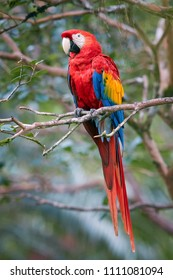 Red and blue parrot, Ara macao, Scarlet Macaw, in its natural environment of wet, evergreen forest. Vertical photo. Wildlife photography in Costa Rica, Central America.