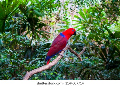 A red and blue parrot in Daintree rainforest, Queensland, Australia