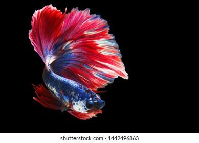 "Red Blue Siamese Fighting fish ""Fancy Halfmoon Betta"" The moving moment beautiful of betta fish in Thailand. Betta splendens Pla-kad (biting fish), Rhythmic of Betta fish isolated on black background"