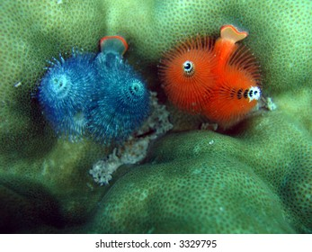 Red and blue underwater worms hiding in a coral