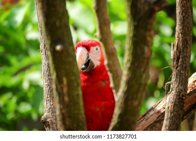 Red, blue, yellow ara parrot outdoor. beautiful cute funny bird of red, blue, yellow feathered ara parrot outdoor on green natural background. red macaw parrot ara