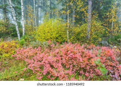 Red blueberry bushes in an autumn colored forest