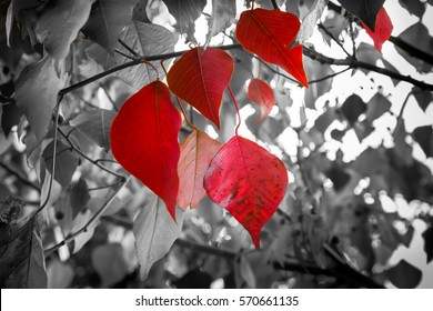 Red Bodhi leafs with black and white background