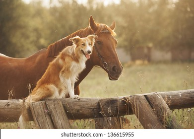 Red border collie dog and horse together at sunset in summer