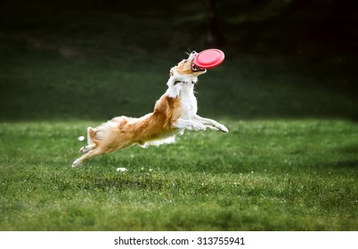 Red border collie dog jumps for a flying disc