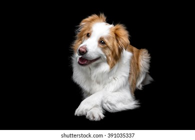 Red border collie female isolated on black