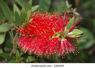 A red bottlebrush (Callistemon sp.)