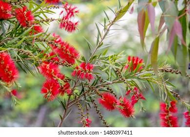 Red bottlebrush plant from Australia