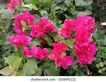 Red bougainvillea flower (scientific name: Bougainvillea) is a perennial plant of the type of shrub Size from small bushes to large bushes With thorns growing along the trunk.