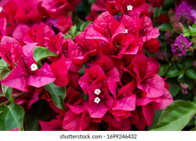 Red bougainvillea flowers and green leaves