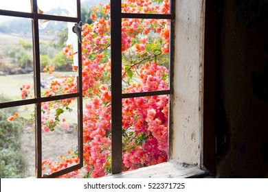 Red bougainvillea flowers seen through an old rustic window frame