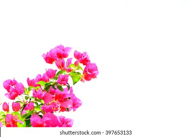 Red Bougainvillea on white background
