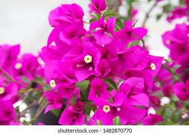 Red bougainvillea with vine like shrubs